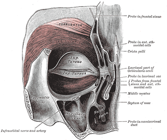Infraorbital nerve - Left orbicularis oculi, seen from behind. (Infraorbital nerve labeled at lower left.)