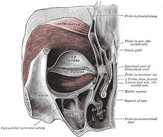 Tarsus (eyelids) - Image: Gray 379