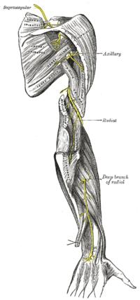 arteria basilaris anatomie