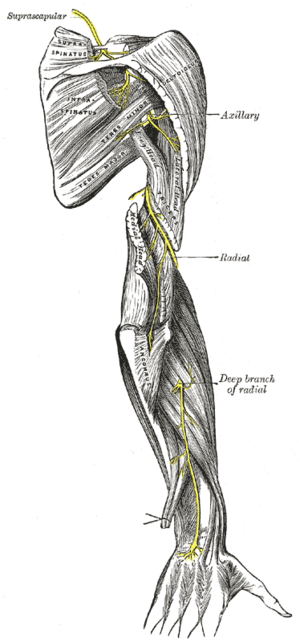 The suprascapular, axillary, and radial nerves.