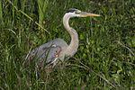 Great Blue Heron (Ardea herodias) - Flickr - Lip Kee (3).jpg
