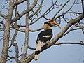 Great Hornbill DSCN8644 05.jpg