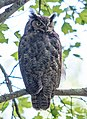 Great Horned Owl (29122535111).jpg