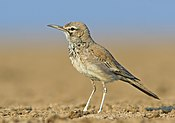 Greater Hoopoe Lark - Kutch, crop.jpg