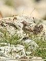 Greater Short-toed Lark (Calandrella brachydactyla) (36312678325).jpg