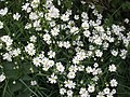 Greater Stitchwort - geograph.org.uk - 1267420.jpg