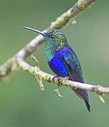 Green-crowned Woodnymph.jpg