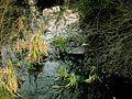 Green Heron hiding (26371144).jpg