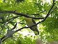 Green Pigeon 2364.jpg