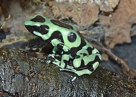 Green and black poison dart frog at Slimbridge Wetland Centre, Gloucestershire, England arp.jpg