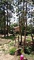 Green artificial forest of Sichirai.jpg