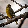 Greenfinch (23968766059).jpg