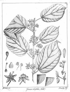 Grewia tiliaefolia Govindoo.jpg