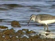 File:Grey-tailed Tattler95.ogv
