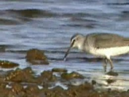 Bestand:Grey-tailed Tattler95.ogv