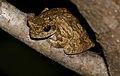 Grey Foam-nest Treefrog (Chiromantis xerampelina) (16493268352).jpg