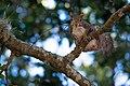 Grey Squirrel with Twig (Sciurus Carolinensis).jpg