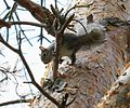 Grey squirrel - Flickr - S. Rae.jpg