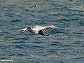 Greylag Goose (Anser anser) (33992527331).jpg