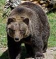 Grizzly Bear 8 (8067483073).jpg