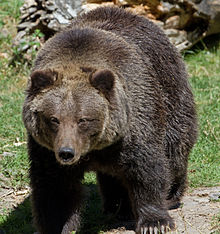 Grizzly Bear 8 (8067483073).jpg