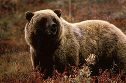 Grizzly bear - Wikipedia, the free encyclopedia