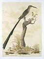 Grote Kaapse suikervogel (Promerops cafer).jpeg