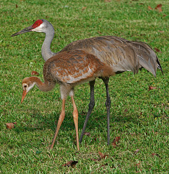 Sandhill crane - Adult (behind) and juvenile