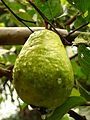 GuavaVietnameseGiant Kampong4 Asit.jpg