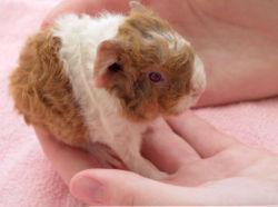 petit cochon d'Inde, 8 heures après sa naissance