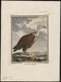 Gyps fulvus - 1700-1880 - Print - Iconographia Zoologica - Special Collections University of Amsterdam - UBA01 IZ18100065.tif