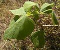 Gyrocarpus americanus foliage.jpg