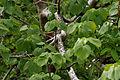 Gyrocarpus americanus in Keesaraguda, AP W IMG 9142.jpg