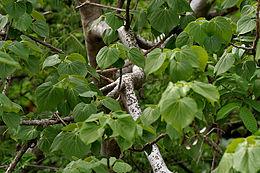 Gyrocarpus americanus in Keesaraguda, AP W IMG 9142