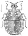HEMI Aradidae Lissaptera completa.png