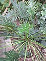 HK 灣仔 Wan Chai 胡忠大廈 Wu Chung House Rest Garden West wing October 2017 IX1 green plant fork leaf 羽裂蔓綠絨 Philodendron xanadu 02.jpg