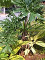 HK Central 香港動植物公園 Zoological and Botanical Gardens -Tree 02 green leaves Feb-2012.jpg