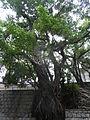 HK Sheung Wan 上環 醫院道 Hospital Road Chinese Banyan tree June-2012.JPG