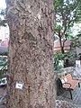 HK Wan Chai 舊灣仔郵政局 Old Wan Chai Post Office plant tree trunk October 2017 IX1 bark skin.jpg