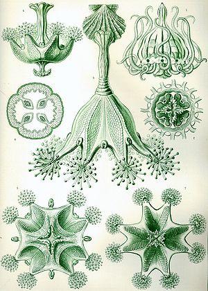Stauromedusae - Stauromeduse from Ernst Haeckel's 1904 Kunstformen der Natur