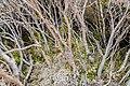 Halocarpus bidwillii in Rangipo Desert 05.jpg