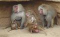 Hamadryas Baboon.jpg
