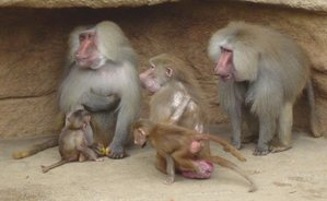 LA CLASSIFICATION DES BABOUINS dans SINGE 300px-Hamadryas_Baboon