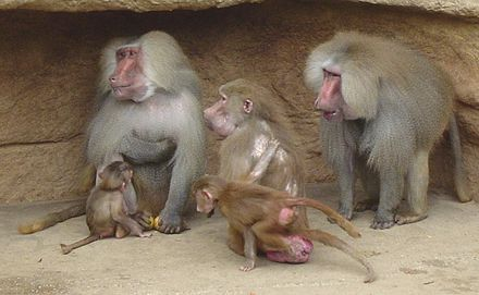 Distinct sexual size dimorphism can be seen between the female and two male hamadryas baboons. Hamadryas Baboon.jpg