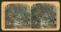 Hanging moss, Daytona, Florida, from Robert N. Dennis collection of stereoscopic views 2.png