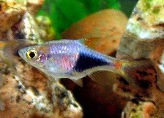 Harlequin rasbora species of fish