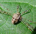 Harvestman. Dicranopalpus ramosus. - Flickr - gailhampshire (2).jpg