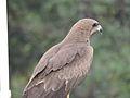 Hawk (Baaz) close shot.jpg