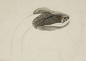Mene (Brand New song) - Head of a snake from the British Library archive.