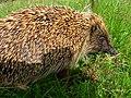 Hedgehog (Erinaceus europaeus) - geograph.org.uk - 1425828.jpg